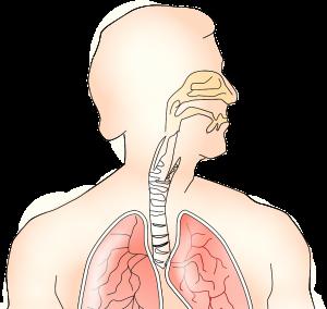 呼吸器系解剖図